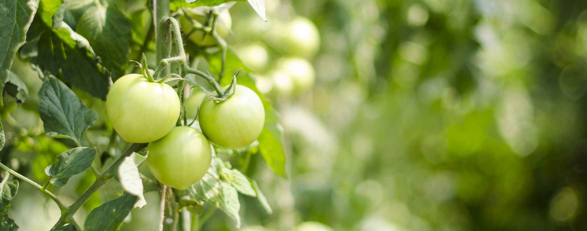 Clubs - Gardening Tomatoes
